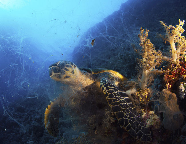 Turtle eating in the red sea
