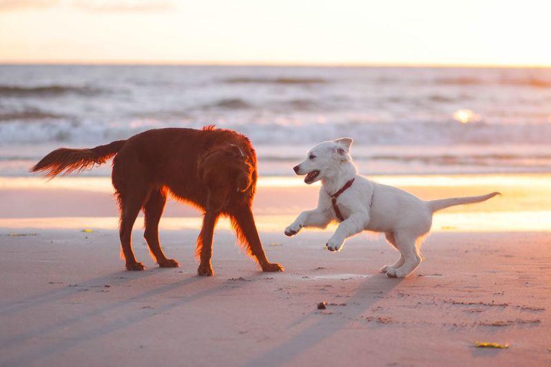 Mammal Animal Pets Animal Themes Beach Sea Dog Domestic Animals Land Sky Vertebrate Sunset Nature Horizon Water Canine One Animal Horizon Over Water Sand Domestic