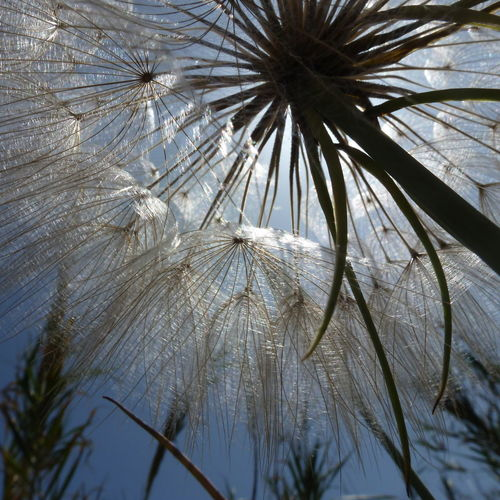 Dandelion Dandelion Close-up Dandelion Collection Dandelion Flowers Dandelion In Spring Dandelion Seed Head Dandelion Seeds Dandelionfluff Dandelions Detail Glow Nature_collection Pusteblume Pusteblumen Silhouette Sillouette Silouette & Sky Sun Light Through Flowers Sun Lovers Dandelion Seed Tadda Community Sunlight EyeEm Nature Lover Eye4photography  EyeEm Gallery