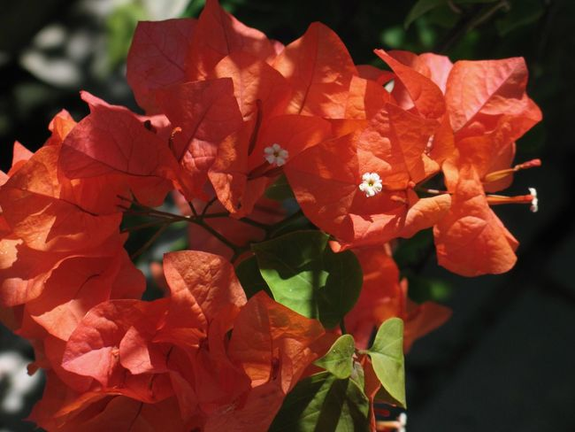 Bougainvillea Leaf Petal Orange Color Plant Growth Fragility Nature Flower Close-up Day No People Outdoors Beauty In Nature Freshness Blooming Flower Head