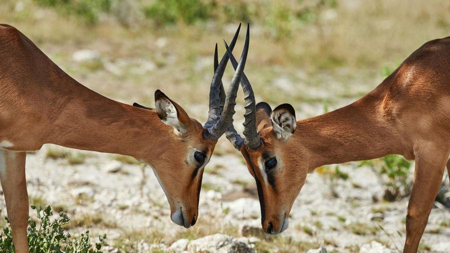 Two male black faced impala photographed in Namibia Aepiceros Impala Namibia NamibiaPhotography Africa Animal Animal Head  Animal Themes Animal Wildlife Animals In The Wild Black Faced Impala Etosha National Park Herbivorous Horned Mammal Melampus Nature No People Petersii Safari Two Animals Vertebrate