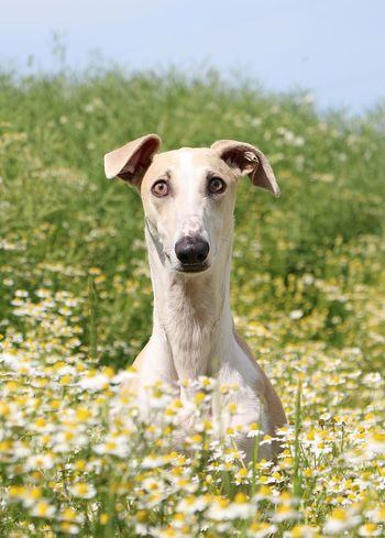 galgo with a crazy face is sitting in a field of chamomile Chamomile EyeEm Pets FUNNY ANIMALS Galgo Galgo Español. Kamillenblüten Sitting Outside Animal Themes Beauty In Nature Chamomile Field 🌼🌼🌼🌼🌼 Close-up Dog Field Flower Galgo Espanol Galgoespañol Greyhound Looking At Camera Nature One Animal Outdoors Pets Portrait Sighthound Windhund