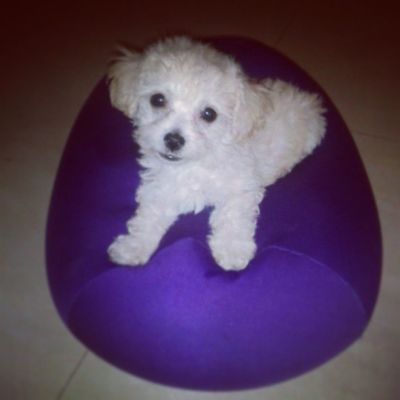 Dog Poodlemicrotoy Poodle Beautiful tita Family baby like l4l goodmorning