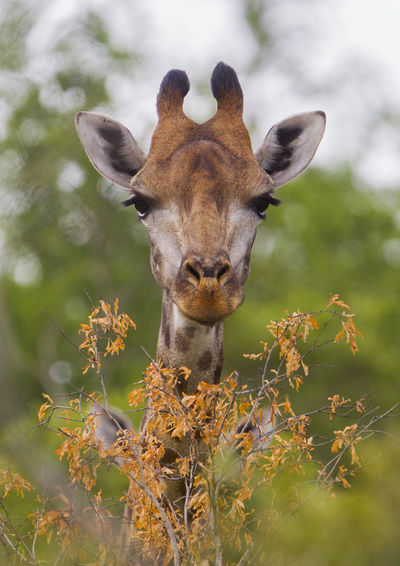 Giraffe Animal Themes Animal Wildlife Animals In The Wild Close-up Day Looking At Camera Mammal Nature No People One Animal Outdoors Portrait