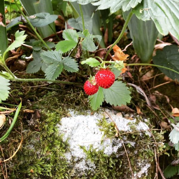 Forest strawberries. They were delicious 😋 Berry Fruit Red Green Color Day Nature No People Strawberry Beauty In Nature