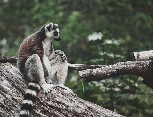 Plz follow on Facebook https://www.facebook.com/niklasstormfoto/ Niklas Storm Augusti 2018 Tree Lemur Branch Sitting Close-up Primate Zoo Animals In Captivity
