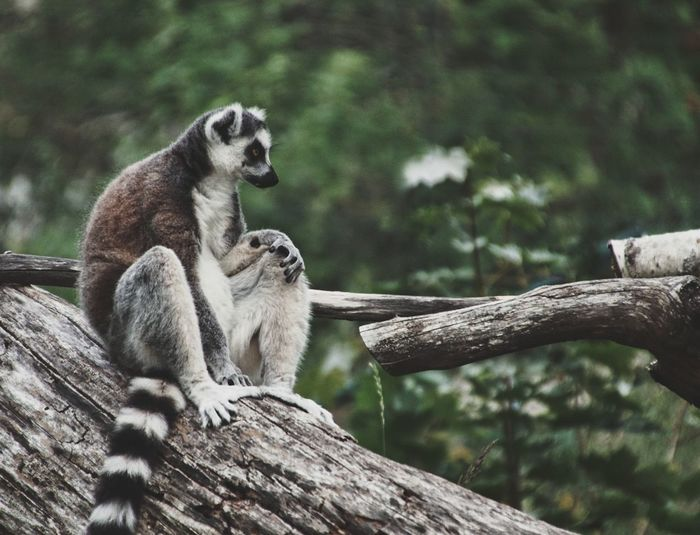 Lemur sitting on tree trunk in forest
