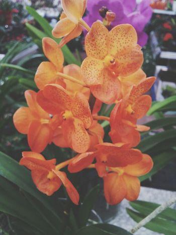 orange orchidee Nature