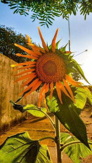 Sunflower at street. CeuAzul Céu Flor Amarilla Sunflower Yellow Flower Bluesky Flores Flowers Girassol Sky Sunflowers🌻 Sunset