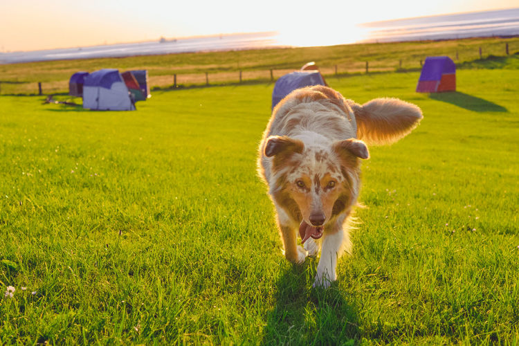 Australian Shepherd happy in the sunset Aussie Australianshepherd Australienshepherd Beach Cuxhaven Dog Domestic Animals Field Grass Landscape Mammal Nature North Sea One Animal Otterndorf Sun Sunlight Sunset Sunset Silhouettes