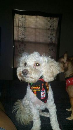 Rocco ♥  Cute Pets MyWorld ♡ Maltese