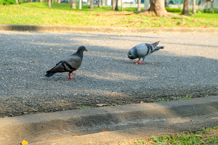 Pigeons perching on a road