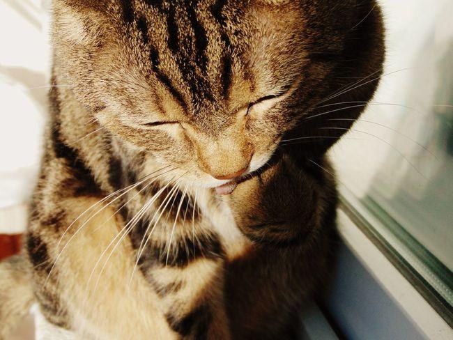 Cat Cats кот котэ няша шерсть усатик шотландец пупсик лапа прелесть пушистик животное вылизывается