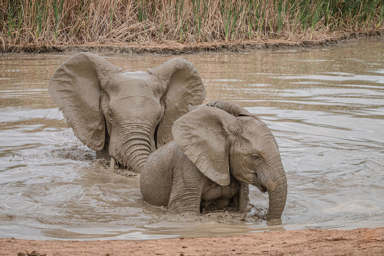 View of elephant in water
