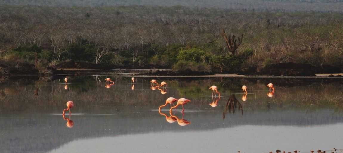 Galapagos Islands EyeEm Selects Flamingo Reflection Outdoors Water Lake Tree Nature