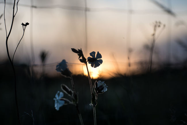 Backlight Blue Hour Closeup Feldrain Fence Lichtnelke Plant Selective Focus Silene Latifolia Silhouette Sunset White Campion having left the Barlow field, I found these little plants at the field fence. The backlight of the setting sun gave the right mood, and opening the lens made the otherwise disturbing fence blur to a nice frame