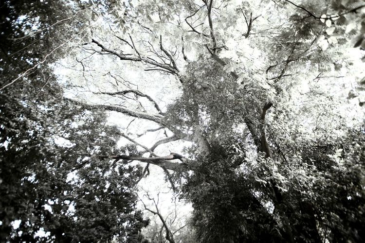 forest canopy Forest Forest Trees Jungle Jungle Plants Jungle Trekking Black And White Black And White IR Infrared Infrared Photography Vine Air Roots Air Oxygen Tree Trunk Root Leaf Tree Branch Backgrounds Full Frame Sky Blooming Tree Canopy  Scenery Height Peak Daytime Relaxing Moments