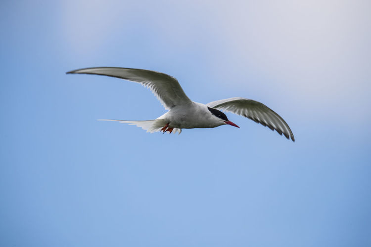 Arctic Tern Flying Against Clear Blue Sky