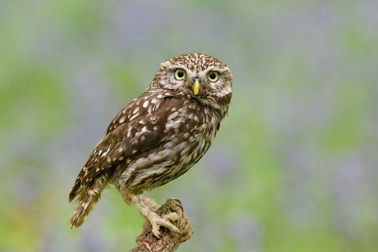 Little Owl -