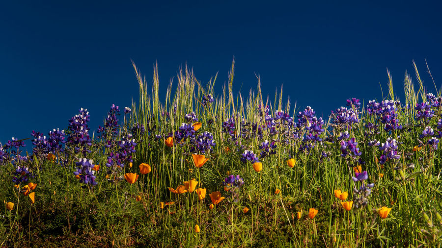 Close-up of purple flowering plants on field against blue sky