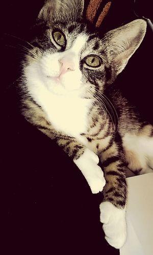 Kittenoftheday Kitten Stripped Cat Doubledpawedcat Feline
