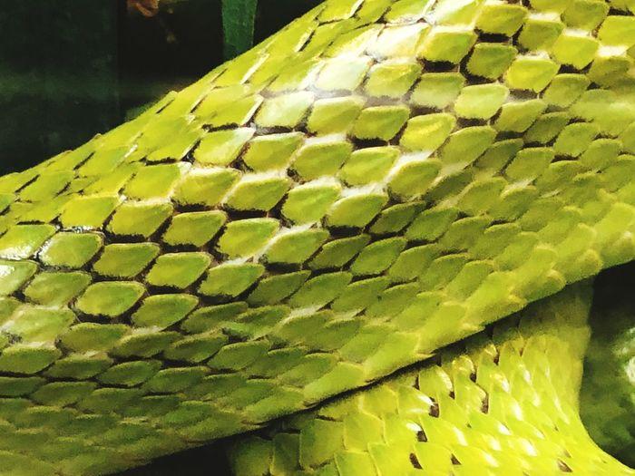 Snakeskin Green