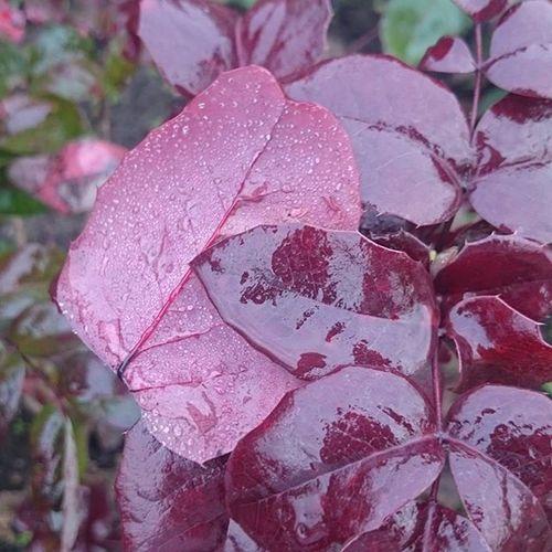 Levelek Vizes Növény Plants Nature Nofilter Hidegvan Bordo Szép Leaves Koponyegkaracsony Macro Beauty