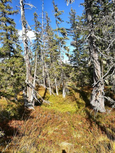 Alter Wald Wald Herbst Farbenpracht Natur Bäume Tree Sunlight Sky