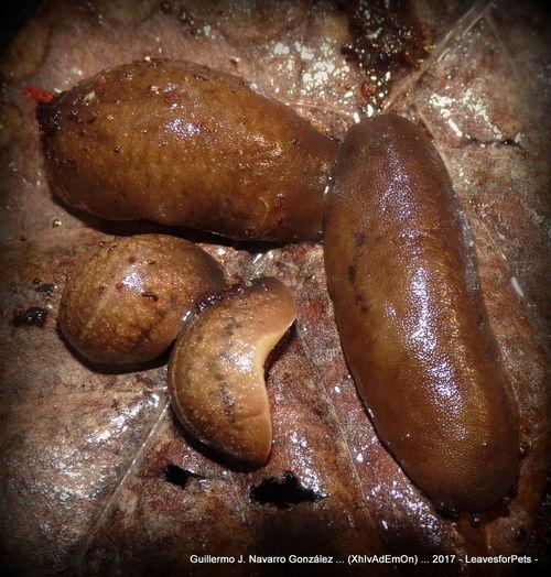 Snail Babosa Babosas Babosas Y Caracoles Caracoles, Quemado, Tierra, Madera Quedaba Close-up Day Gasteropodos Gastropoda Gastéropodes No People Sarasinula Sarasinula Slugs Slug Slugs Slugs And Snails Slugs! Snails Snails And Slugs Snail🐌 Xhivademon