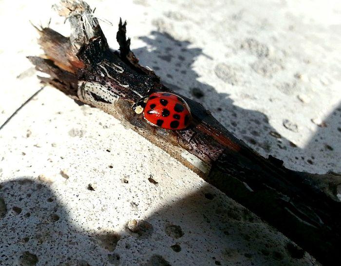 Ladybug Ladybeetle Ladybirds 🐞 Mariquita Vaquita De San Antonio