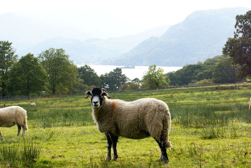 Beauty Cumbria Farm Farmlandscape Lakeland Mountains Outdoors Sheep