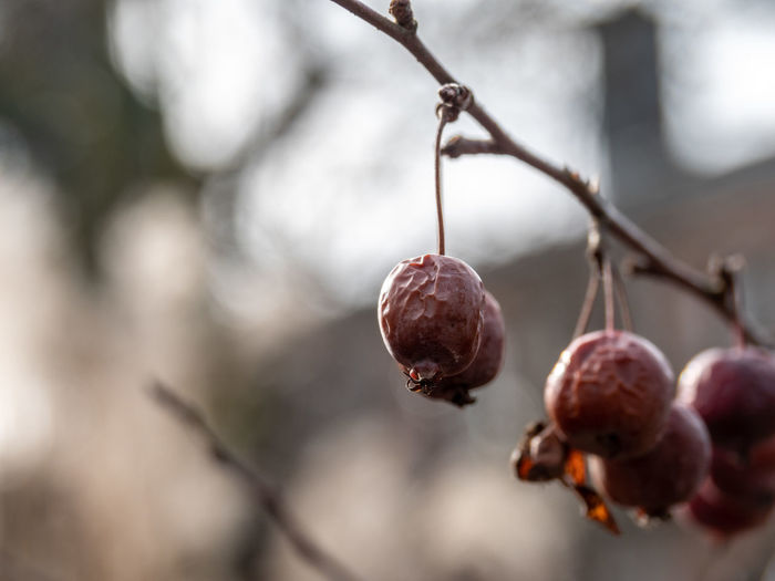 Food And Drink Food Healthy Eating Fruit Freshness Focus On Foreground Close-up Plant Tree Growth No People Wellbeing Day Branch Hanging Outdoors Red Ripe Nature Twig