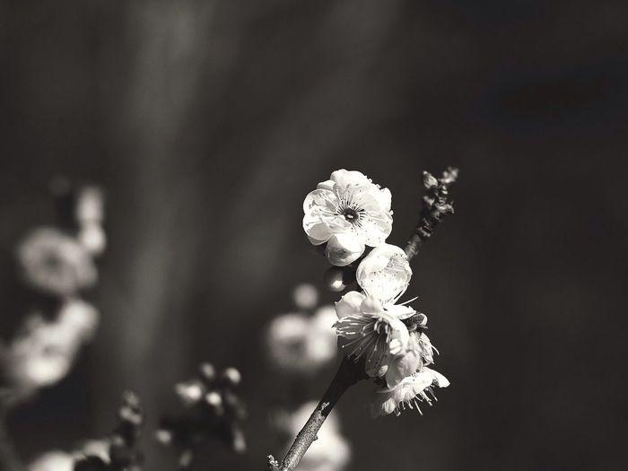 Plum/梅 Flowers Monochrome CanonFD Streamzoo #oldlens