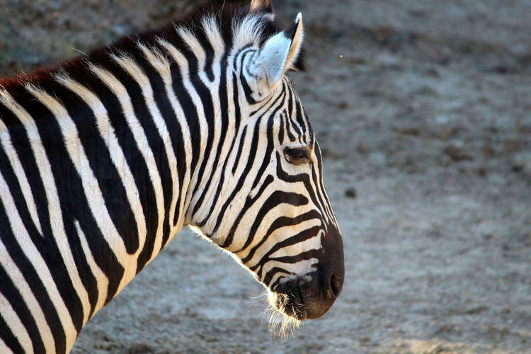 Animal Themes Animal One Animal Animal Wildlife Animals In The Wild Mammal Striped Zebra No People Focus On Foreground Day Close-up Vertebrate Nature Side View Herbivorous Animal Markings Outdoors Animal Body Part Animal Head  Profile View