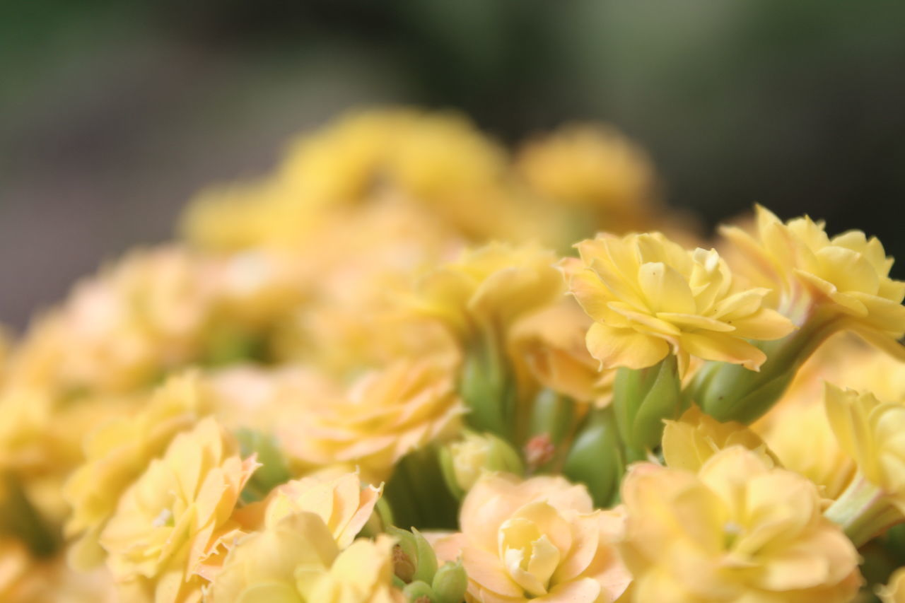 flower, freshness, nature, beauty in nature, yellow, no people, plant, petal, fragility, close-up, growth, outdoors, flower head, day