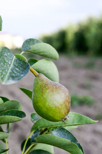 unripe pear Agriculture Agriculture Beauty In Nature Close-up Focus On Foreground Food Freshness Fruit Green Color Growth Healthy Eating Leaf Nature No People Orchard Pear Pear Tree  Plant Part Ripening Fruit Ripening Pear Tree Unripe Fruits