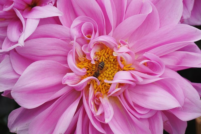 Bee Flower Flowering Plant Plant Petal Beauty In Nature Pink Color Flower Head Freshness Close-up