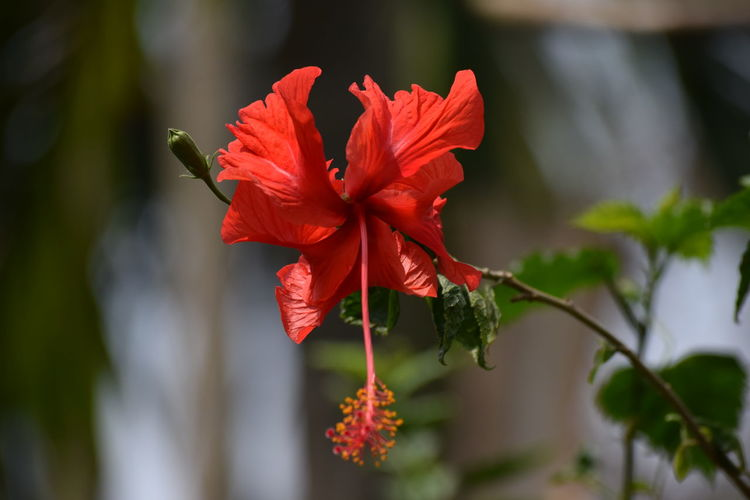The Gorgeous Red Hibiscus.... Red Hibiscus Hibiscus Innocently Attractive Check These Out Cute And Sweet Eyeem Best Click Object Eyeem Best Image EyeEm Best Shots Check This Out EyeEm Gallery EyeEm Showcase March Q Getty Images EyeEm Nature Lover Element Of Nature Natural Inhabitants Wonder Of Nature Eye4photography  Eyeem4photography Scarlet Flower Scarlet Hibiscus EyeEm Selects