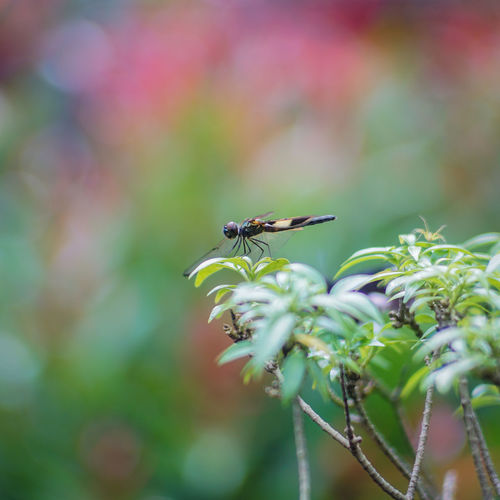 Martapura Alun-alun Martapura Animal Themes Animal Wildlife Animals In The Wild Beauty In Nature Bokeh Master Close-up Day Focus On Foreground Fragility Freshness Green Color Growth Insect Leaf Nature No People One Animal Outdoors Pentacon 135mm Plant EyeEmNewHere