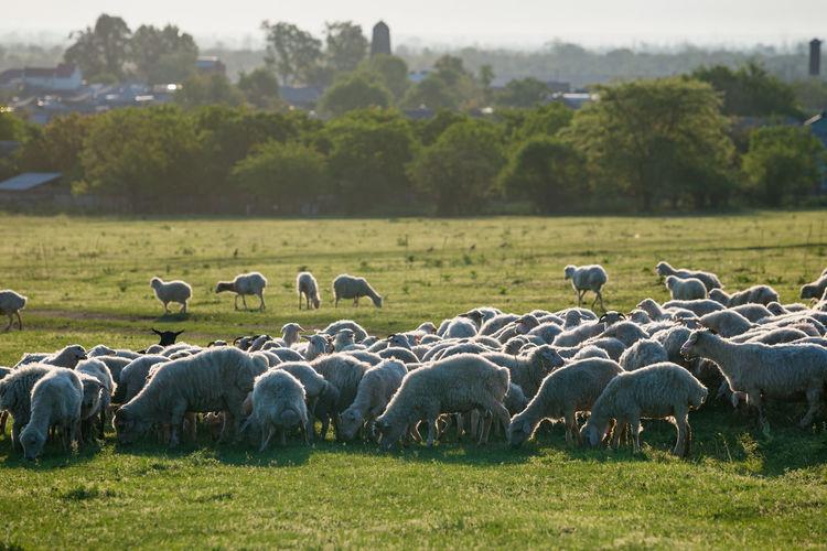 Flock of sheep on grassy field