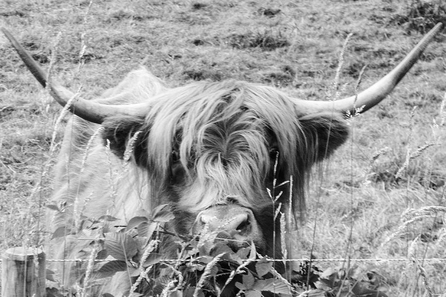 Animal Themes One Animal Mammal Animal Head  Herbivorous Focus On Foreground Highland Cattle Animal Hair Bnw_collection Bnw_friday_eyeemchallenge Cow Arts CowArts EyeEm Gallery Check This Out Scotland Scotish Dramatic Angles