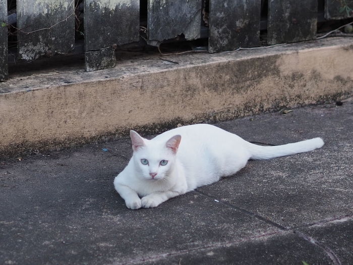 Portrait of white cat lying on footpath