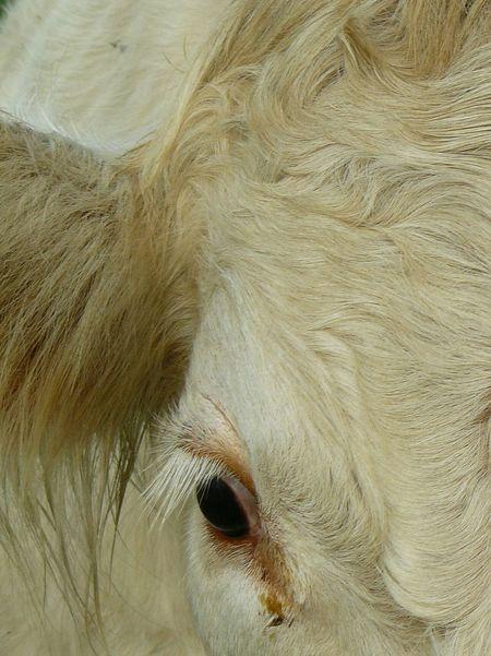 Pets Backgrounds Full Frame Eyeball Close-up Livestock Animal Body Part