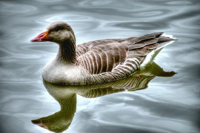 Animal Neck Animal Themes Animal Wildlife Bird Day Floating On Water Goose Lake Nature No People One Animal Reflection Side View Swimming Water Water Bird