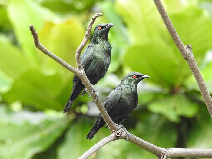 Close-up of asian glossy starlings perching on branch