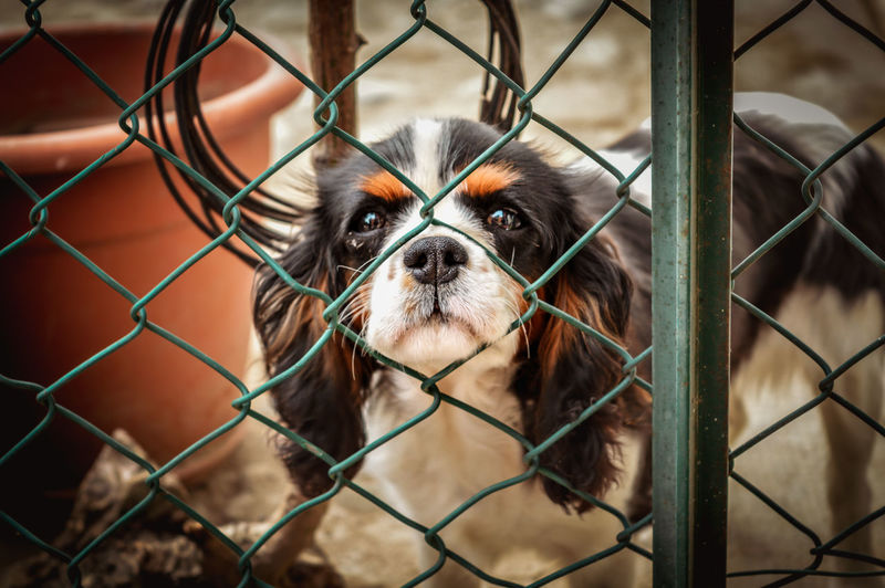 Animals Animal Animal Themes Cavalier King Charles Spaniel Adult Street Photography Outdoors Travel Italian Europe Trip Urban Pets Dog Puppy Cage Looking At Camera Prison Protection Portrait Friendship Metal Trapped Web My Best Photo