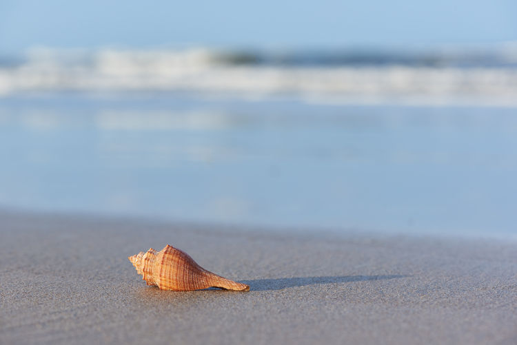 A brown seashell on the beach. Morning sunlight and sea waves on background. Background Beach Beautiful Beauty Blue Brown Coast Decoration Exotic Holiday Macro Natural Nature Nobody Object Ocean Outdoor Relax Relaxation Sand Sea Seashell Seashore Shell Sky Space Summer Sunlight Sunny Tourism Travel Tropical Vacation View Water Wave White Shadow Selective Focus Close-up