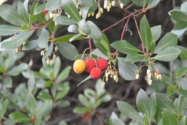 Arbutus Unedo Madroño Plants
