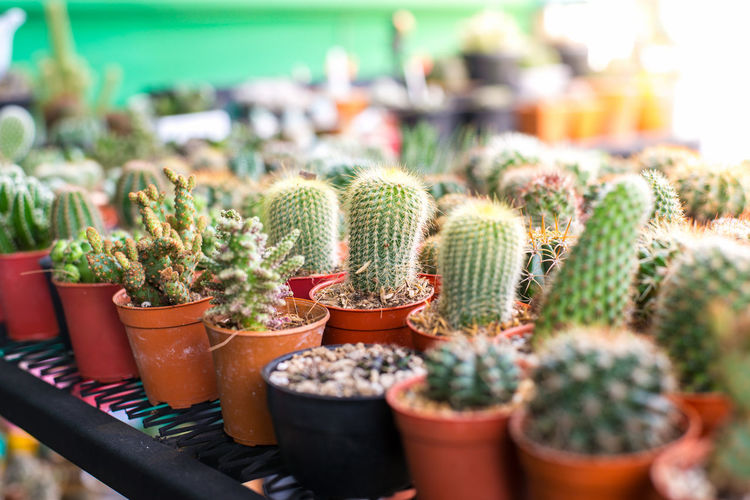 Barrel Cactus Beauty In Nature Botany Cactus Close-up Day Flower Pot Focus On Foreground Green Color Greenhouse Growth Houseplant Nature No People Outdoors Plant Plant Nursery Potted Plant Sharp Spiked Succulent Plant Thorn