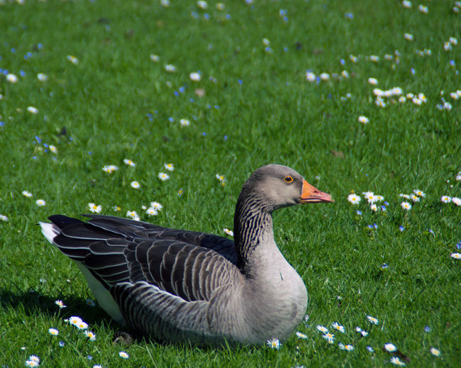 Animal Animal Photography Animal Themes Animals In The Wild Apufoto Beauty In Nature Bird Day Field Goose Grass Grassy Green Green Color Nature Nature_collection No People Outdoors Wildlife